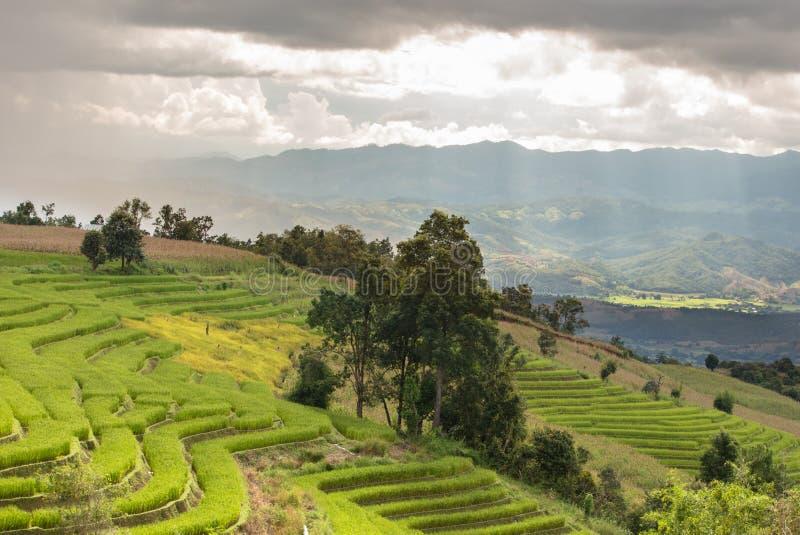 Campo do arroz da paisagem no monte imagem de stock