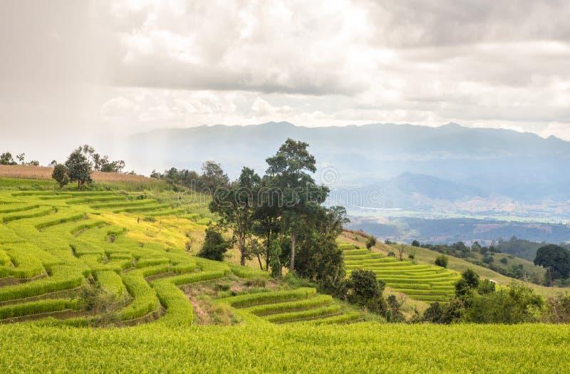 Campo do arroz da paisagem imagem de stock