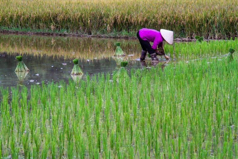 Campo do arroz de Bac Son imagens de stock royalty free
