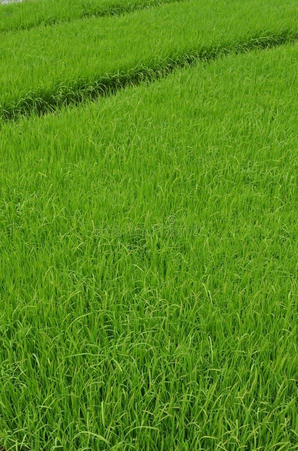 Campo do arroz de Grean fotos de stock royalty free