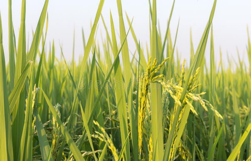 Campo do arroz e das grões fotografia de stock