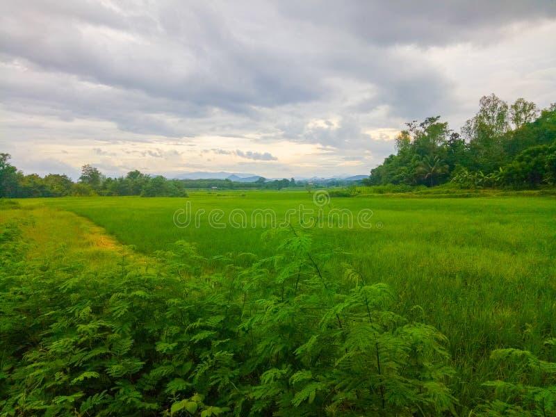 Campo do arroz e nuvem verdes do wite do céu imagens de stock royalty free