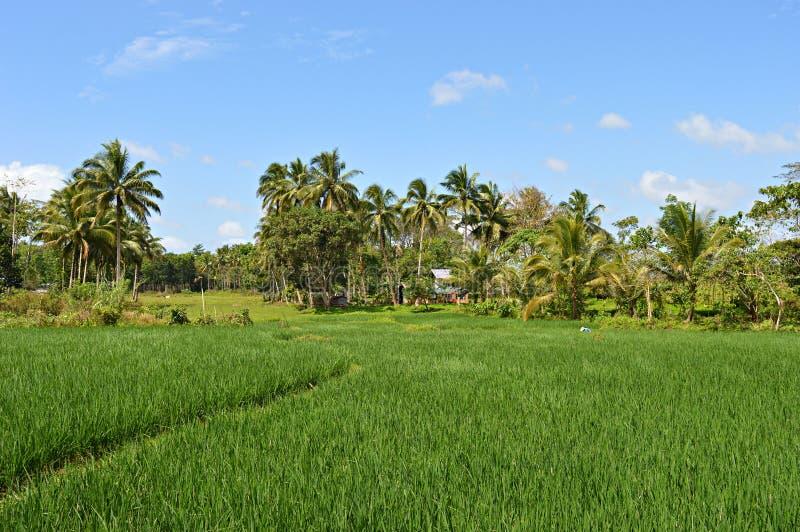 Campo do arroz em Bohol, Filipinas imagens de stock royalty free