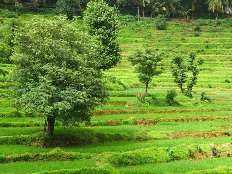 Campo do arroz em Goa, Índia fotografia de stock royalty free