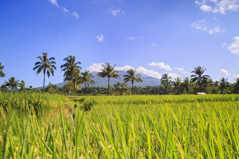 Campo do arroz em Indonésia fotografia de stock royalty free