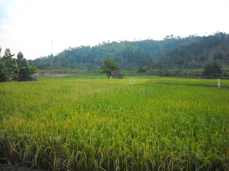 Campo do arroz em Kuningan, Java ocidental foto de stock