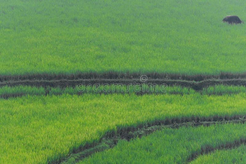 Campo do arroz em Sumedang, Java ocidental, Indonésia foto de stock