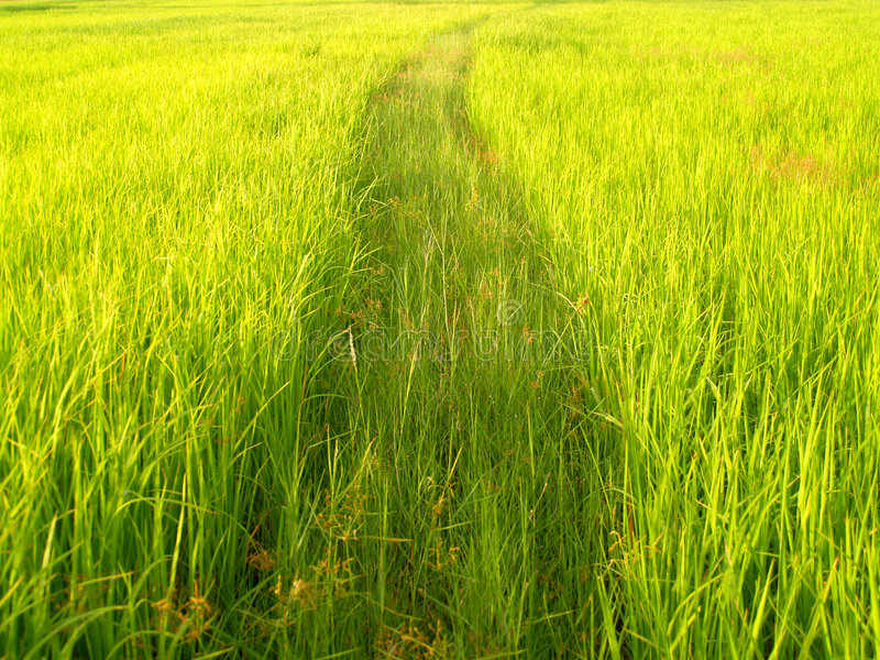 Campo do arroz em Tailândia 1 fotos de stock
