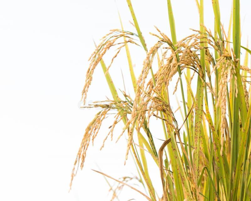 Campo do arroz em Tailândia imagens de stock royalty free