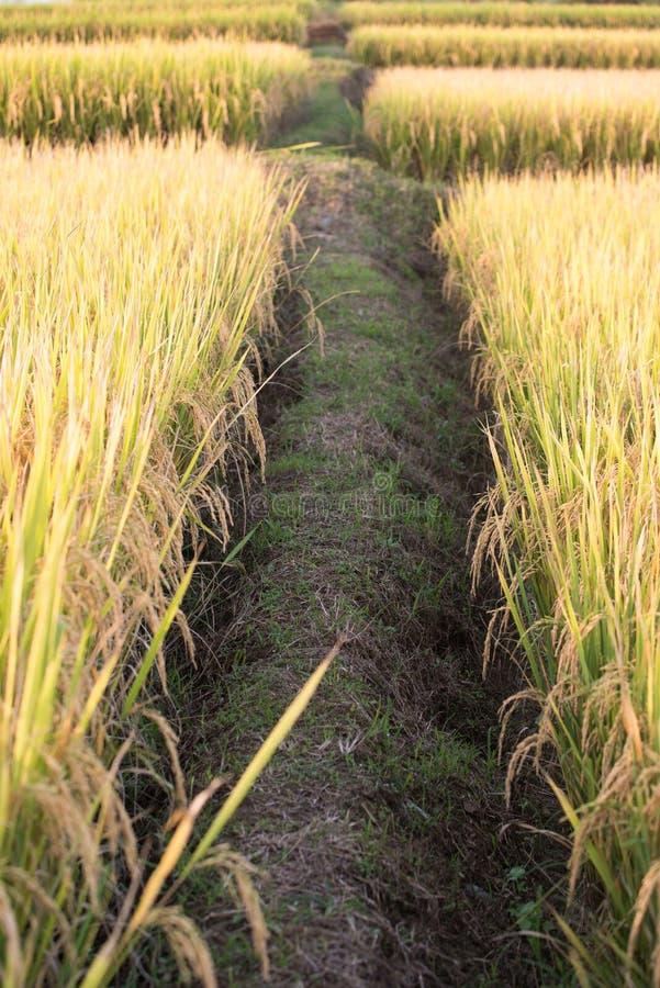 Campo do arroz em Tailândia fotos de stock royalty free