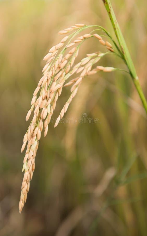 Campo do arroz em Tailândia foto de stock