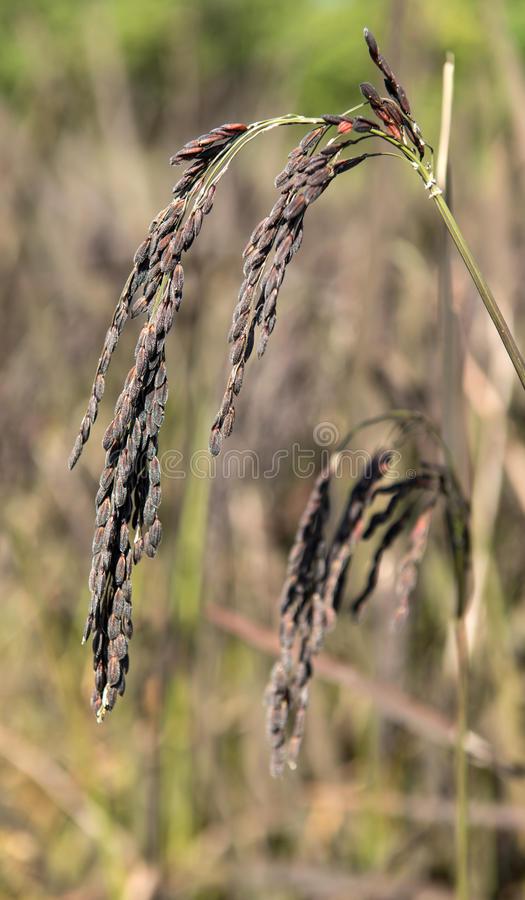 Campo do arroz em Tailândia foto de stock royalty free
