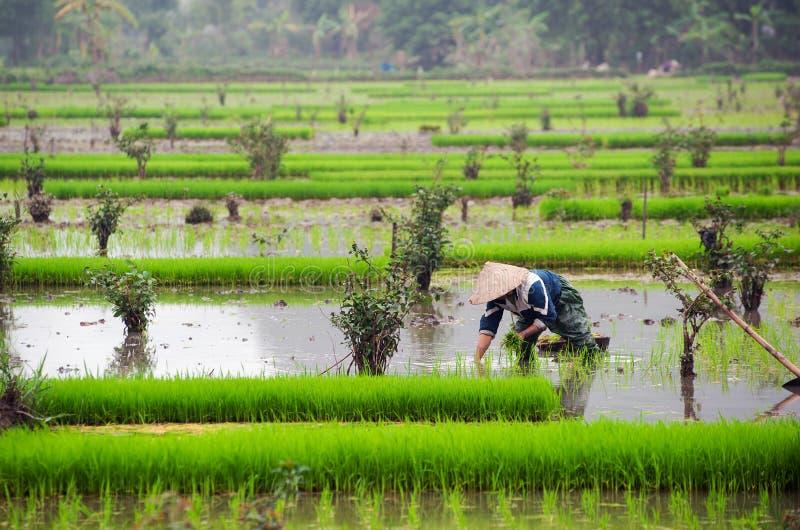 Campo do arroz em Vietnam Almofada de arroz de Ninh Binh imagens de stock