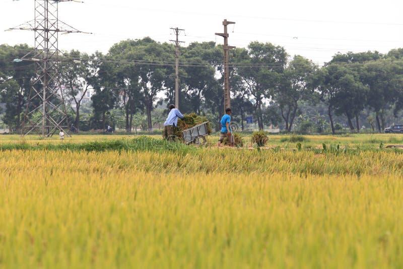 Campo do arroz na estação da colheita imagem de stock royalty free