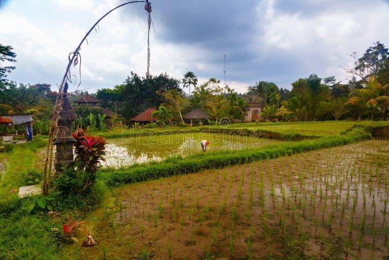 Campo do arroz na selva fotografia de stock