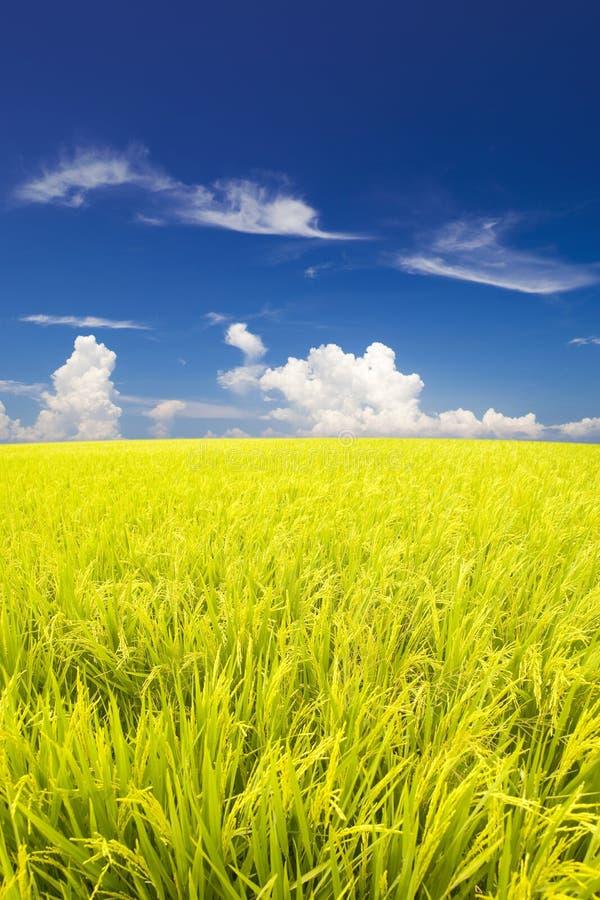 Campo do arroz 'paddy' imagens de stock royalty free