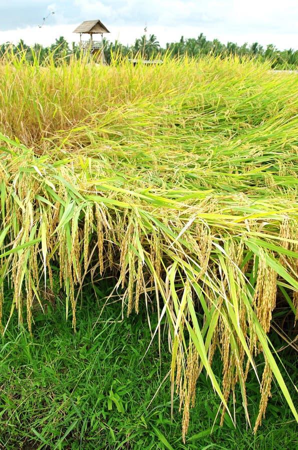 Campo do arroz pronto para a colheita foto de stock