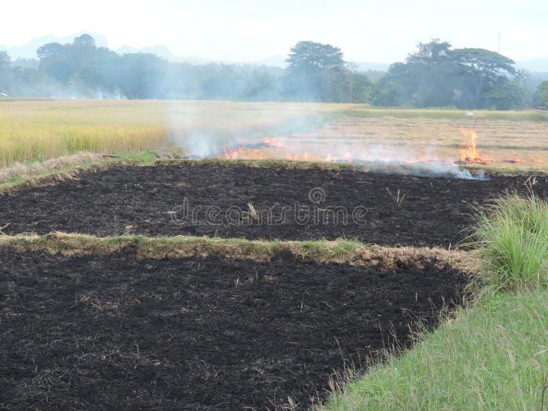 Campo do arroz que queima-se após a colheita foto de stock royalty free
