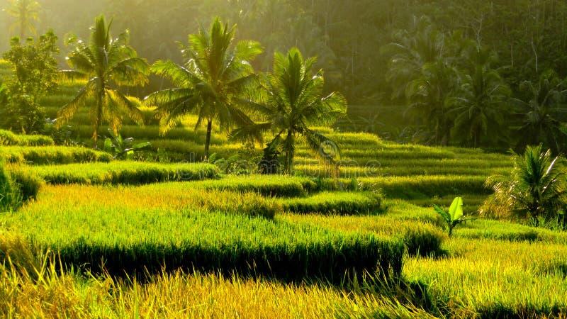 Campo do arroz do terraço na tarde imagens de stock royalty free