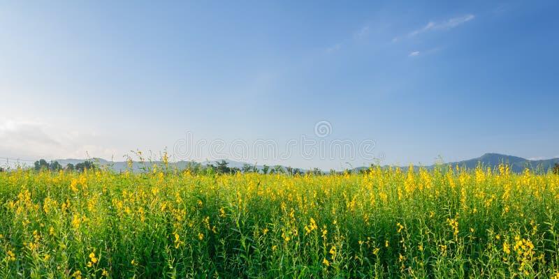 Campo do cânhamo de Sunn com o céu azul claro imagens de stock royalty free