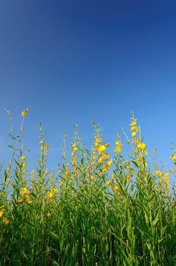 Campo do cânhamo de Sunn com o céu azul claro foto de stock