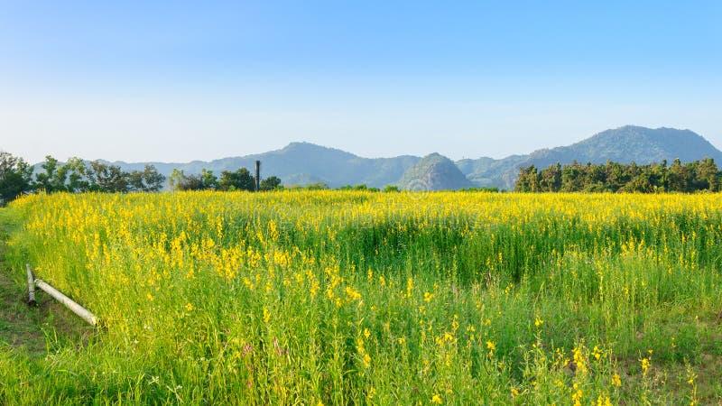 Campo do cânhamo de Sunn com o céu azul claro fotos de stock royalty free