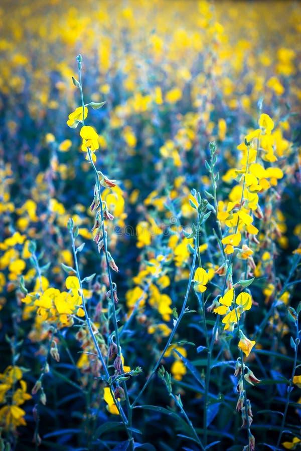 Campo do cânhamo indiano Flor amarela imagem de stock royalty free