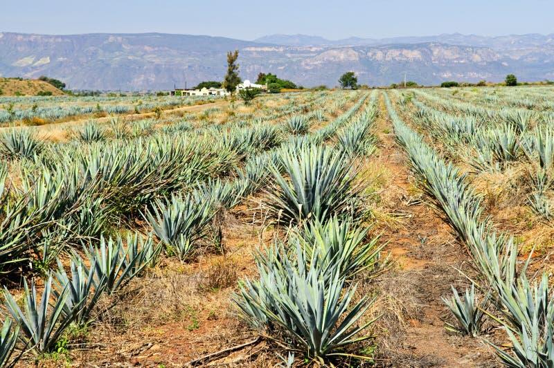 Campo do cacto da agave em México