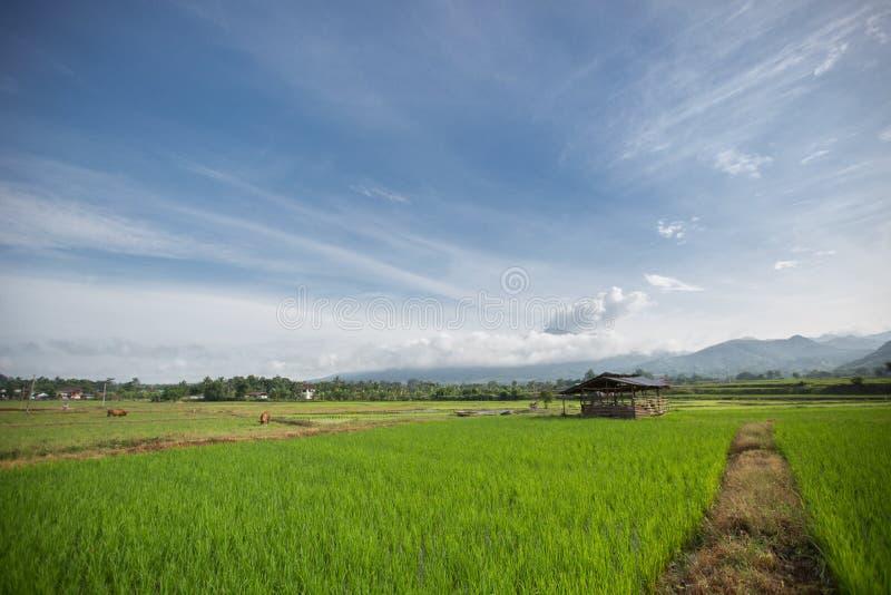 Campo do campo do arroz fotos de stock