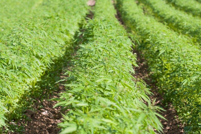 Campo do cannabis do cânhamo Sativa fotografia de stock royalty free