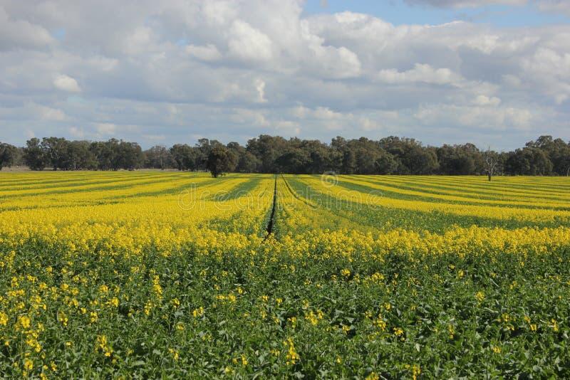 Campo do canola dourado, cultivo da colheita fotografia de stock