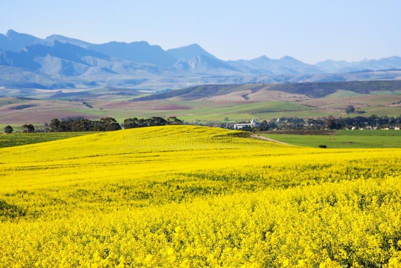 Campo do Canola, rota do jardim, África do Sul foto de stock