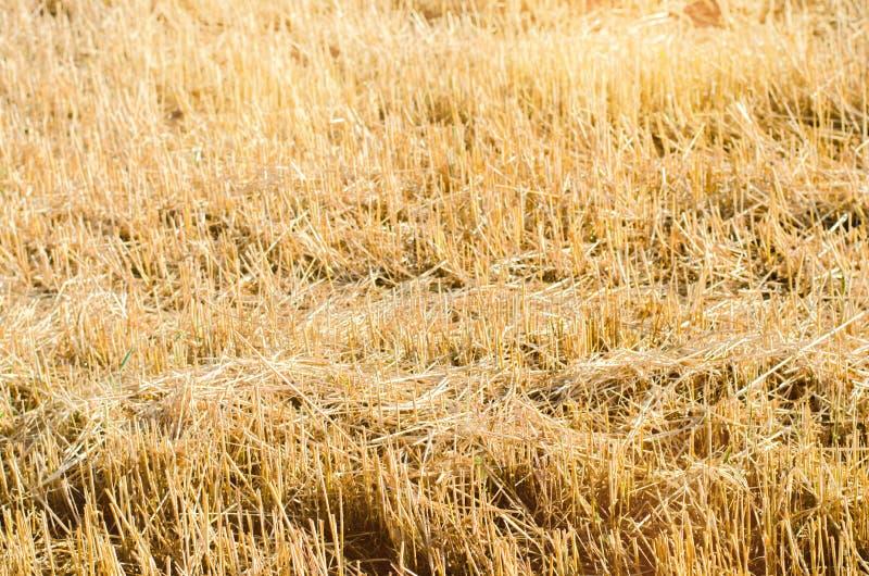 Campo do centeio com tiras chanfradas durante a colheita Agricultura do verão rural Palha do trigo chanfrado Fundo para o projeto imagem de stock