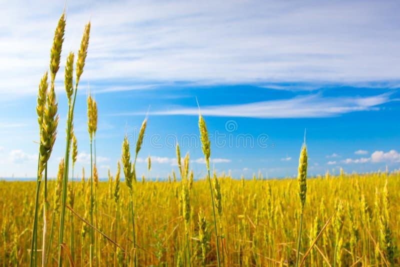 Campo do cereal foto de stock