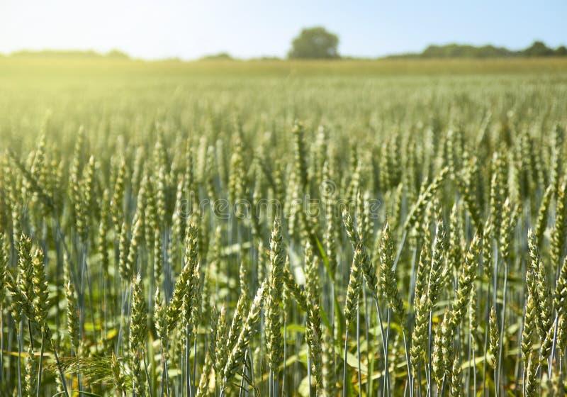 Campo do cereal verde do centeio imagem de stock royalty free