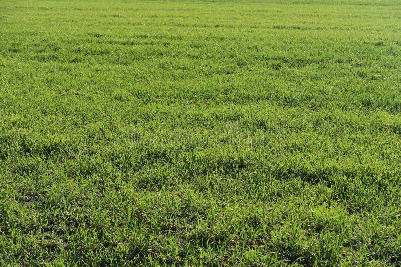 Campo do cereal verde do inverno na mola imagem de stock royalty free