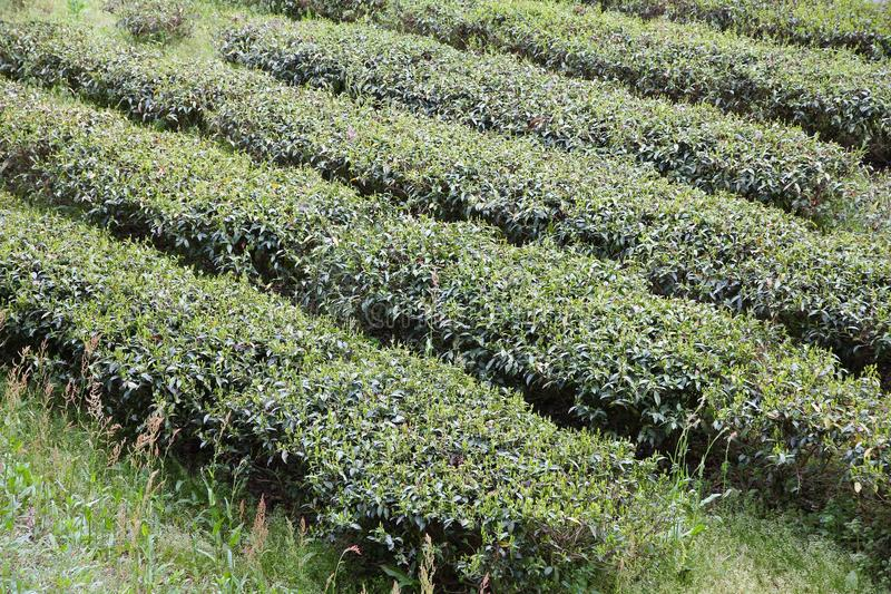 Campo do chá em Japão fotos de stock royalty free