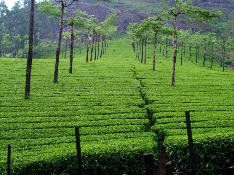 Campo do chá em kerala munnar, Índia imagem de stock royalty free