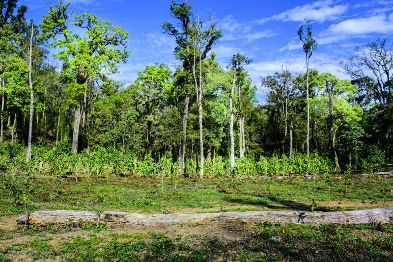 Campo do chá verde na floresta tropical fotografia de stock royalty free