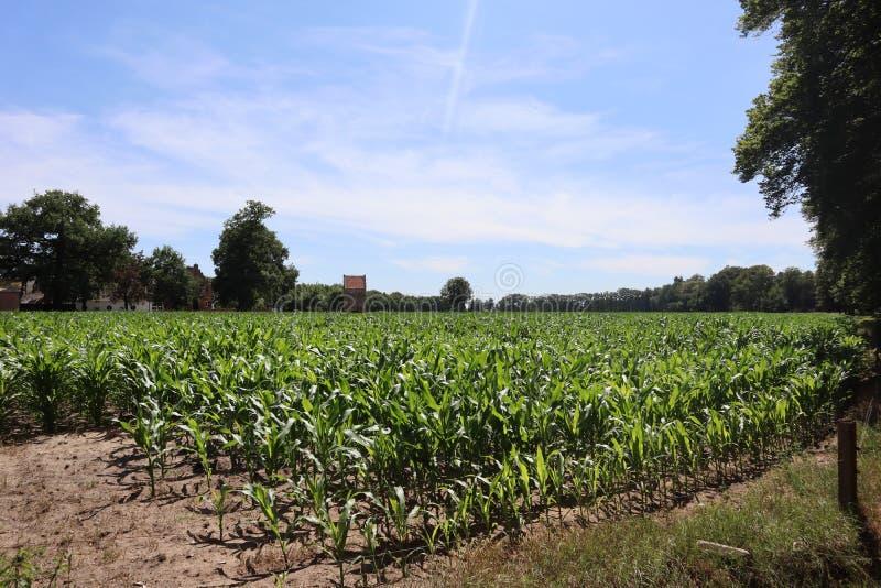 Campo do campo de milho crescente pequeno da paisagem do verão do milho fotografia de stock