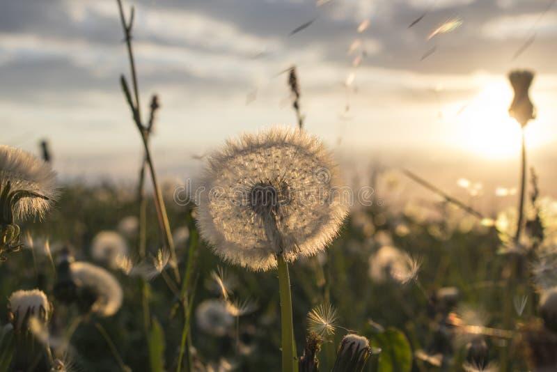 Campo do dente-de-leão do por do sol do verão imagens de stock