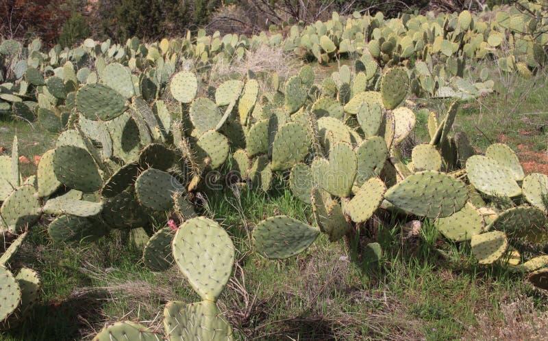 Campo do deserto do cacto de pera espinhosa imagem de stock