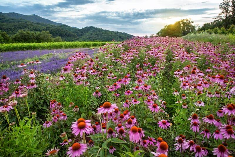 Campo do Echinacea e da alfazema imagem de stock