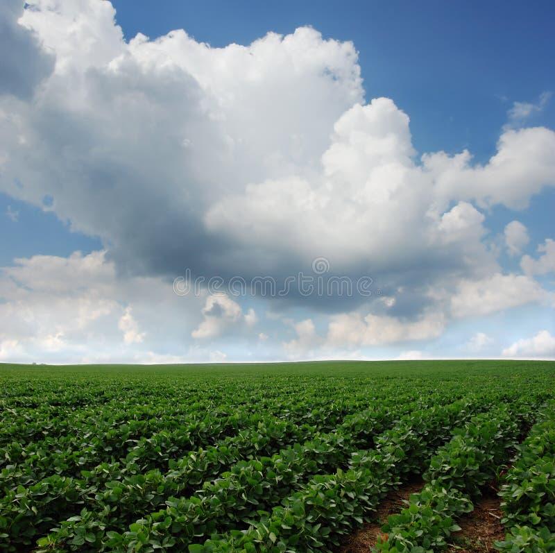 Campo do feijão de soja em South Dakota imagens de stock royalty free