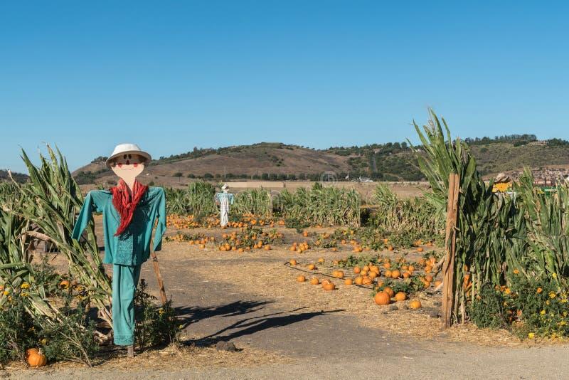 Campo do festival da colheita com abóboras e espantalhos, Un de Moorpark foto de stock