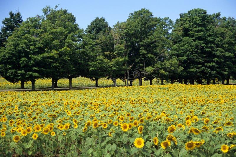 Campo do girassol com árvores fotos de stock royalty free