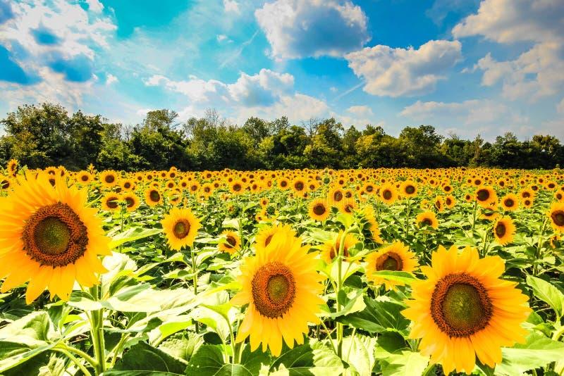 Campo do girassol com as flores na flor foto de stock royalty free