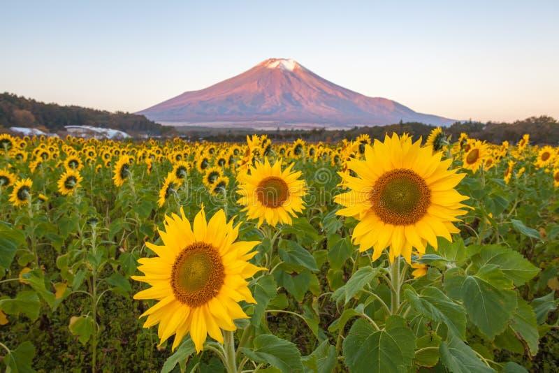 Campo do girassol e montanha Fuji imagem de stock
