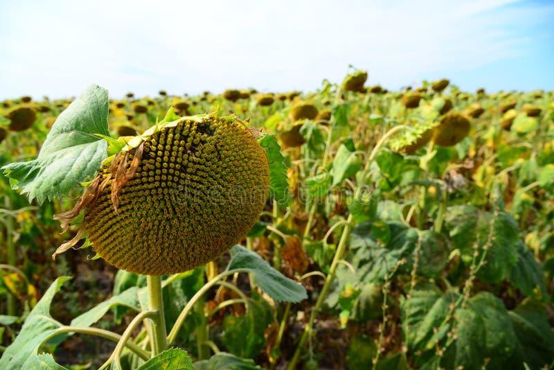 Campo do girassol grande maduro em agosto em Rússia fotografia de stock royalty free