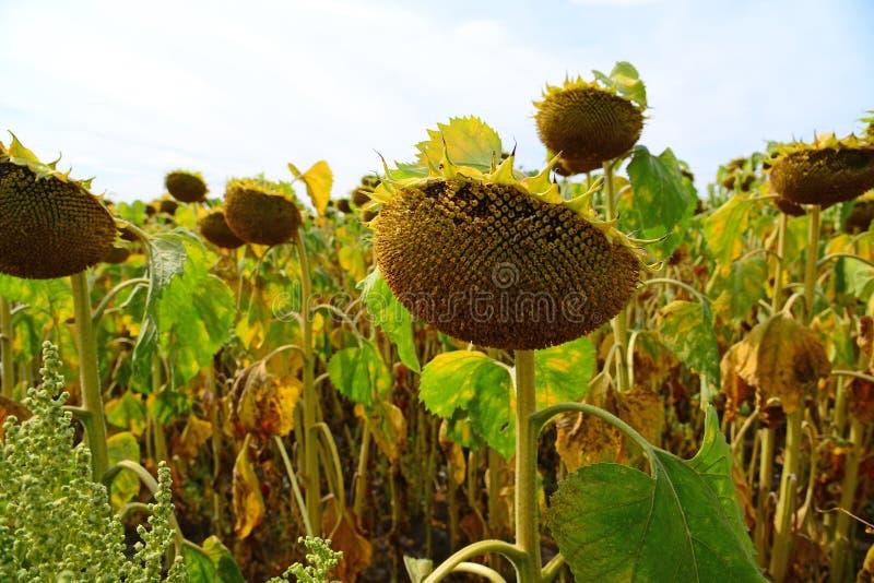Campo do girassol grande maduro em agosto em Rússia imagem de stock